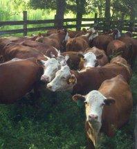 cattleforsale-thumb